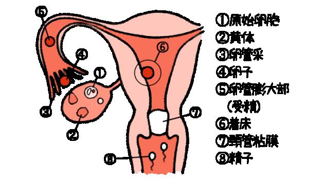 妊娠する仕組み