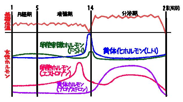 基礎体温とホルモン分泌